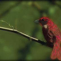 Little Red Finch