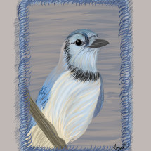 Blue Jay in grey