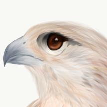 My Falcon